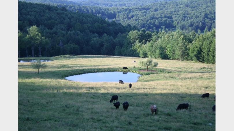 Grazing cows in field